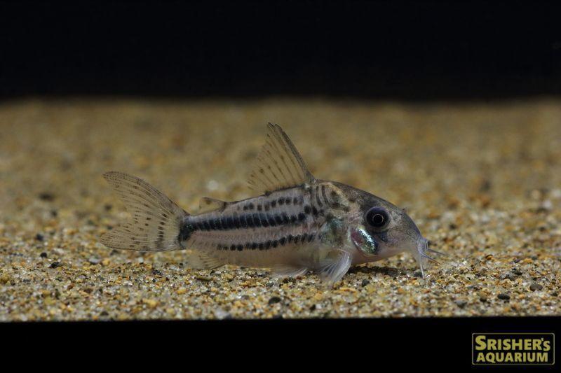 コリドラス パヴァネリアエ M 学名 Corydoras Pavanelliaeサイズ 約2 3cm コリドラス 魚 探検