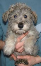 Silver Toy Schnoodle Pepper Schnoodle Schnoodle Puppy Schnoodle Puppies For Sale