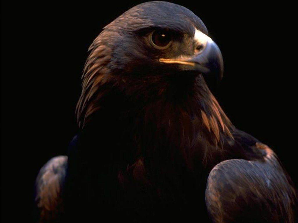 1285566493 1024x768 Charming Golden Eagle Eagle Wallpaper Beautiful Birds Bird Wallpaper