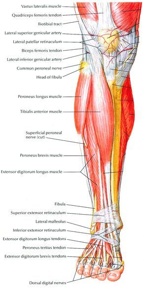 The Muscles That Work The Pulleys That Lift The Arches Of The Feet