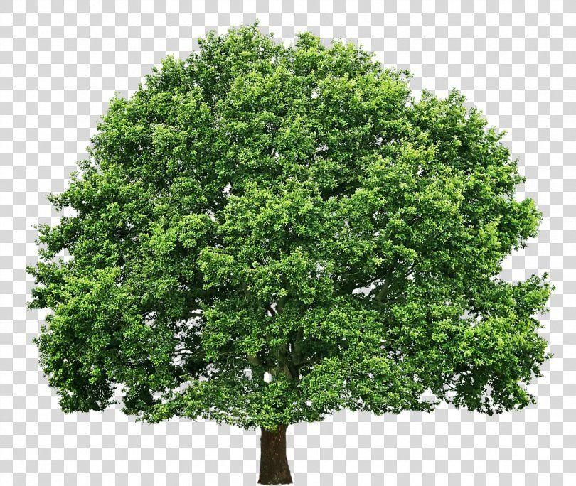 Tree Oak Pruning Clip Art Tree Png Tree Arecaceae Branch Christmas Tree Evergreen Prune Tree Clip Art