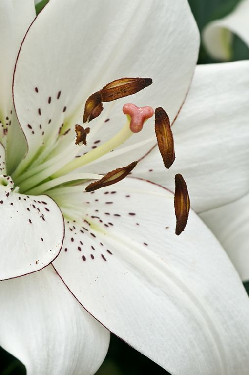 Fiori Bianchi 4 Immagini.Longiflorum Asiatic Hybrid Lily Eyeliner Lilium 3 4 Tall