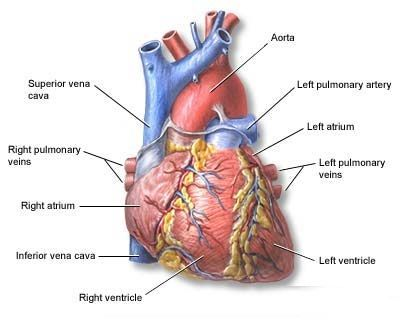 Detailed Diagram Of Heart Arteries Product Wiring Diagrams