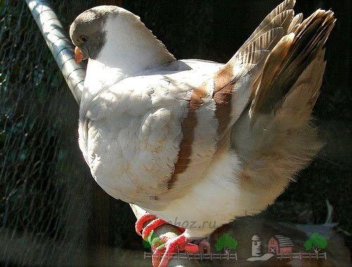 Виды и породы голубей: фото с названиями разновидностей ...