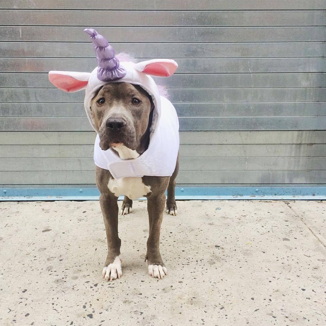 Unicorn Unicorn Dog Costume Diy Dog Costumes Pet Halloween