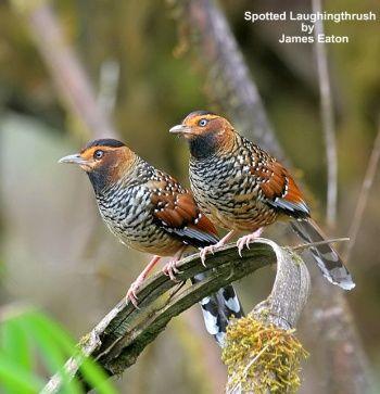 Spotted Laughingthrush, Garrulax ocellatus: Bhutan/ China/ India/ Myanmar/ Nepal