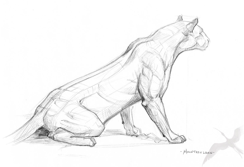 Mountain Lion Feline Anatomy Mountain Lion Lion Anatomy