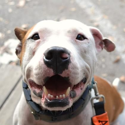 Austin Tx Looking For A Lap Dog But Prefer Big Guys This Handsome Boy Oliver Is The Perfect Mix Of Young Energy Sweetness He Pit Dog Pets Pitbull Rescue
