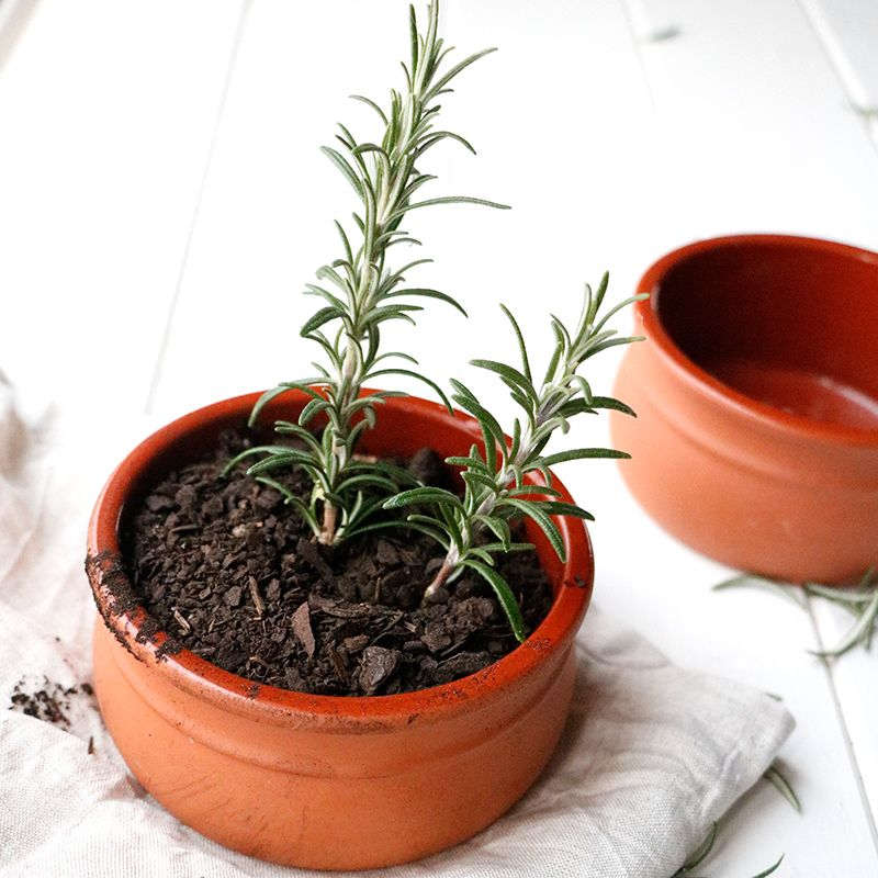Consider yourself a bit of a green thumb? Why not try your hand at growing some rosemary from cuttings at home.
