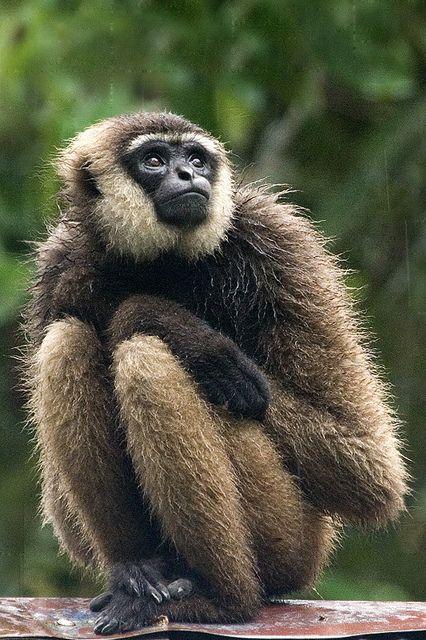 Borneo Agile Gibbon Animals Beautiful Animals Wild Rare Animals
