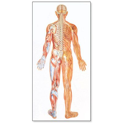 Central Nervous System Chart Gallery Human Anatomy Diagram