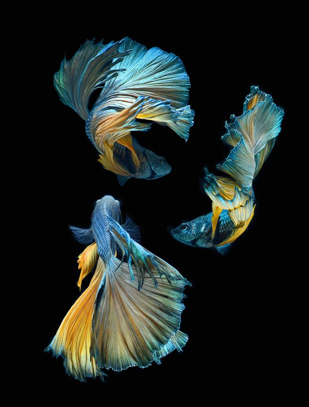 Visarute Angkatavanich Stunning Movements of Siamese Fighting Fish