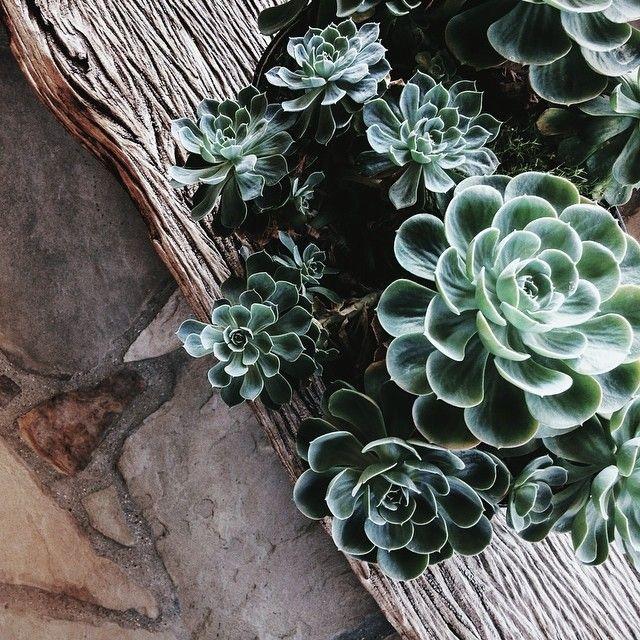 California succulents.