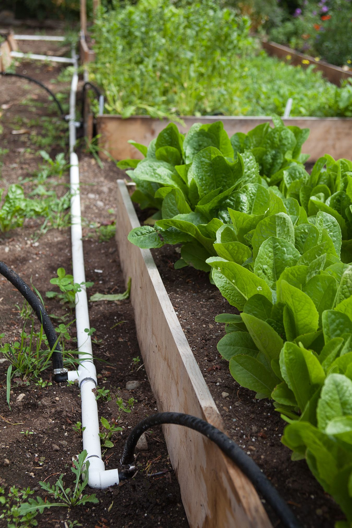 Drip Line Irrigation Using Soaker Hoses And Pvc Pipes Garden