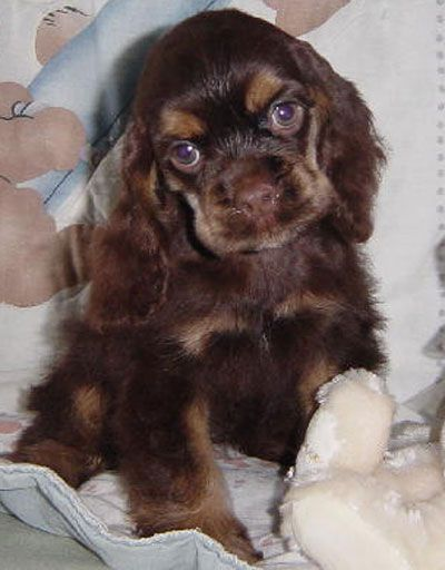 American Cocker Spaniel Puppy American Cocker Spaniel Dog Breeds Cocker Spaniel Puppies