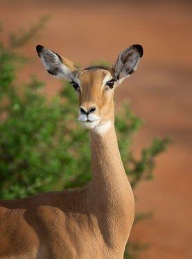 鹿眼迷人  Impala Female, Samburu NP  The impala is a medium-sized antelope found in savanna areas of eastern and southern Africa. They are fleet runners who are able to leap distances of up to 33 feet (10 meters) to escape predators.