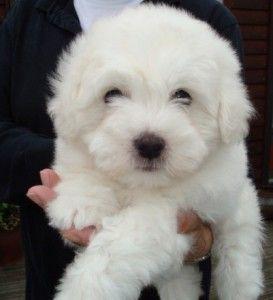 Bomuldshund - Coton de Tulear | Så sød!!!! | Pinterest | Coton de tulear, Pup and Dog