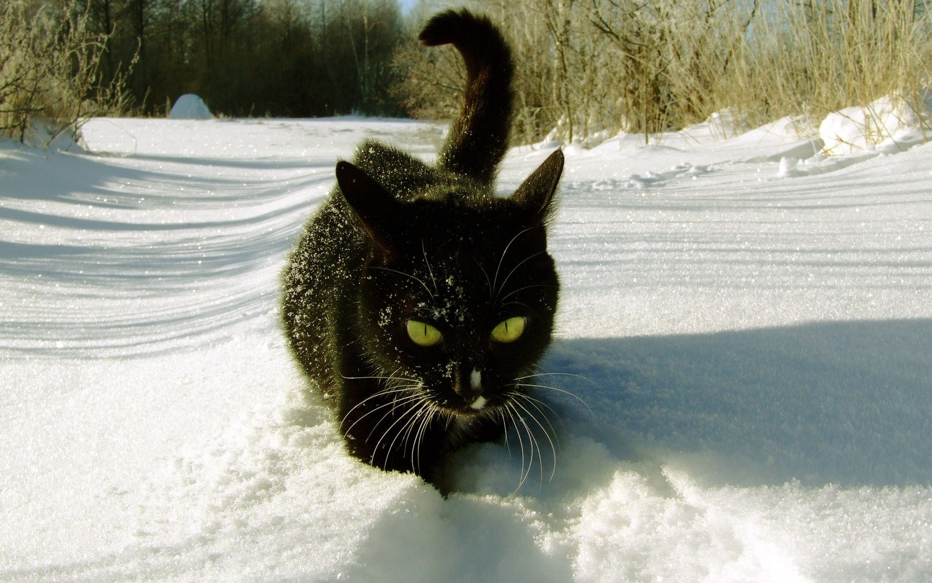 Black cat in the snow (With images) Cats, Winter cat