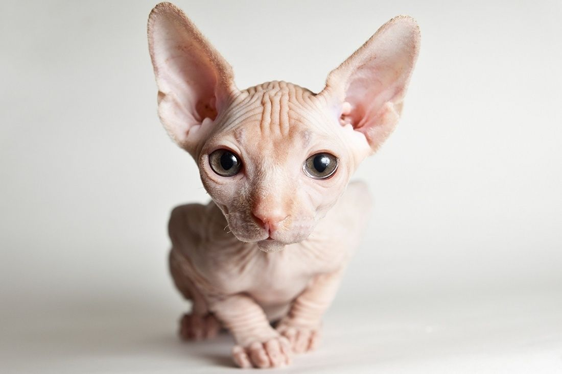 Sphynx Cats And Sphynx Kittens Sphynx Cats And Kittens In 2020 Sphynx Cat Cats And Kittens Hairless Cat