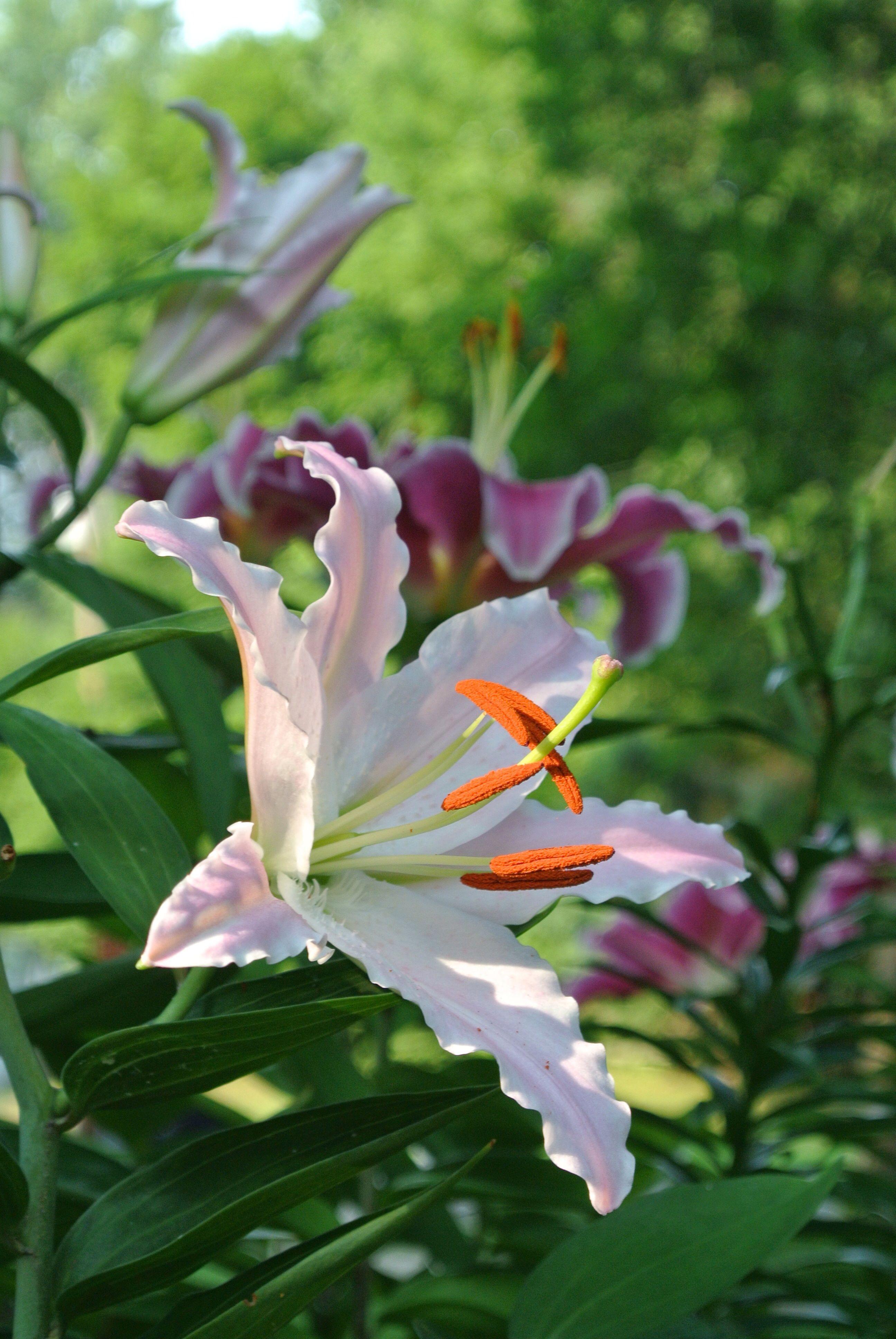 Stargazer lilies in the garden