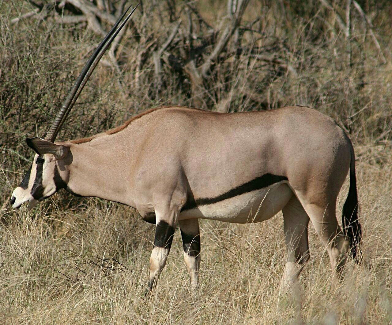 East African oryx, Oryx beisa African wildlife, Animals