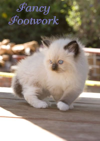 Rag Doll Cat Zeus As A Kitten Http Catsrpeople2 Com Cat Pictures Ragdoll Cat Ragdoll Kitten Baby Cats