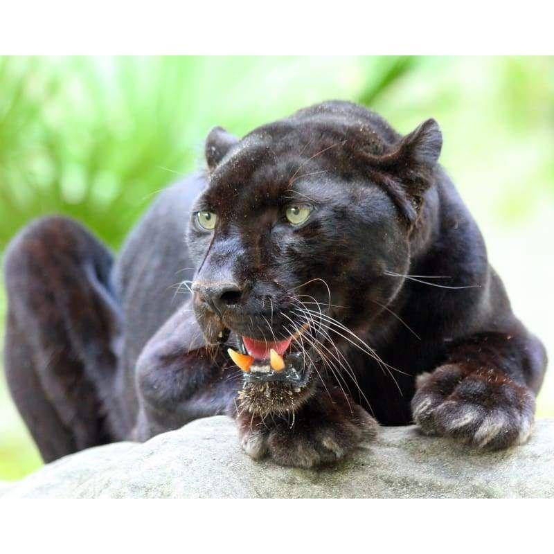 Photo Download Black Leopard 25 in 2020 Big cat rescue