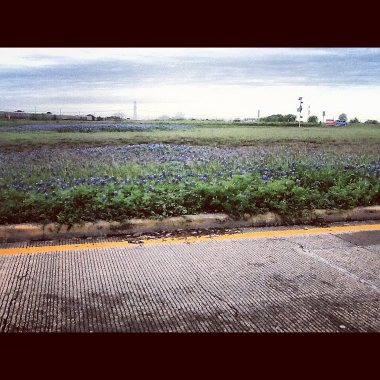 Grand Parkway bluebonnets