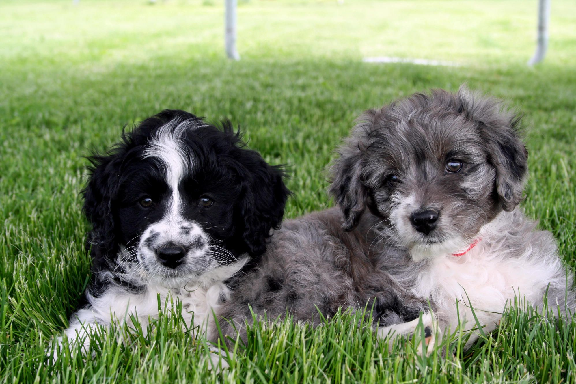 Aussiedoodle puppies for sale. Doodle puppies, cross