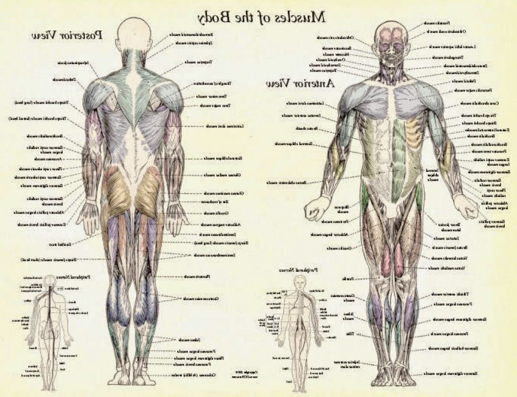 Human Body Muscles Anatomy   muscles   Pinterest   Human body ...
