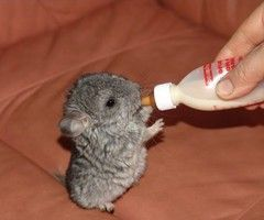 Chinchilla Pictures Images Photos Cute Baby Animals Cute Animals Cute Animal Pictures