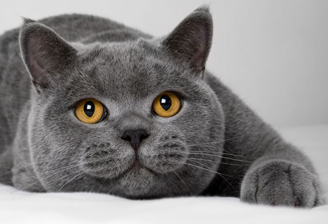 Sign In British Shorthair Cats Grey Cats Blue Cats