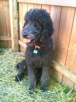 Ashlin Xl Newfypoos Due March 4 Newfoundlandpoodle