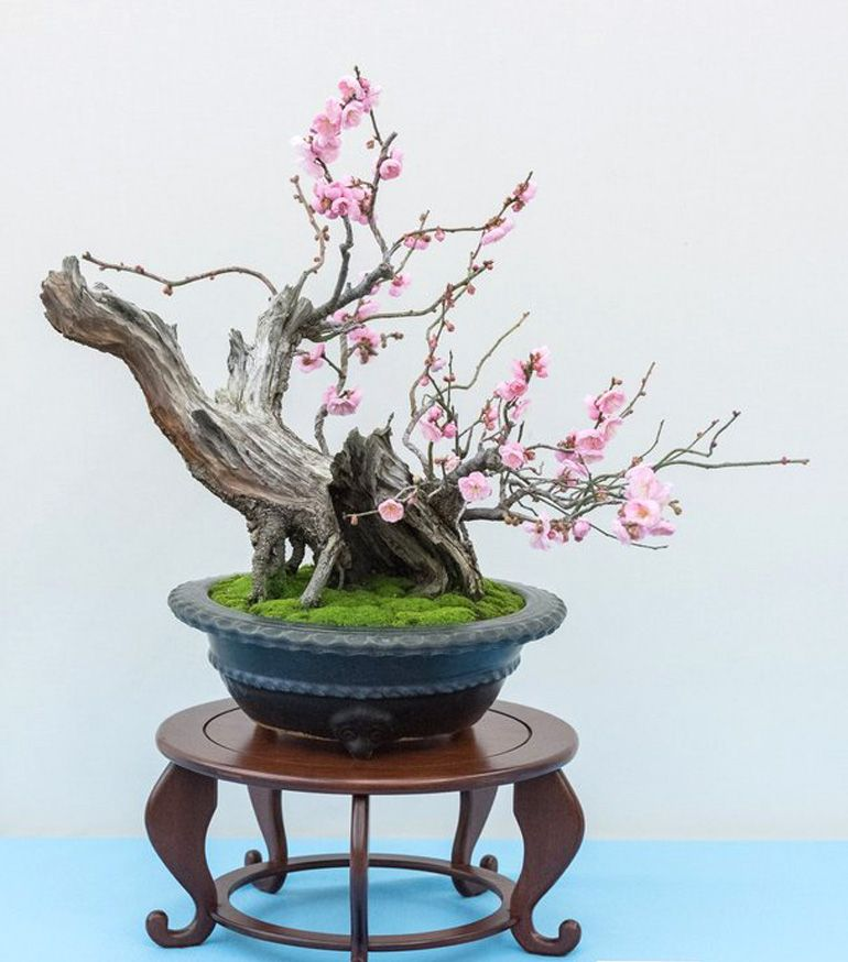 B1bflowers Indoor Bonsai Tree Bonsai Tree Types Hydroponic Gardening