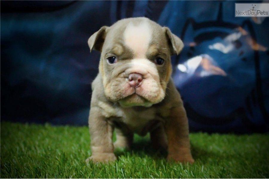Mr Eiji English Bulldog Puppy For Sale Near Ventura County