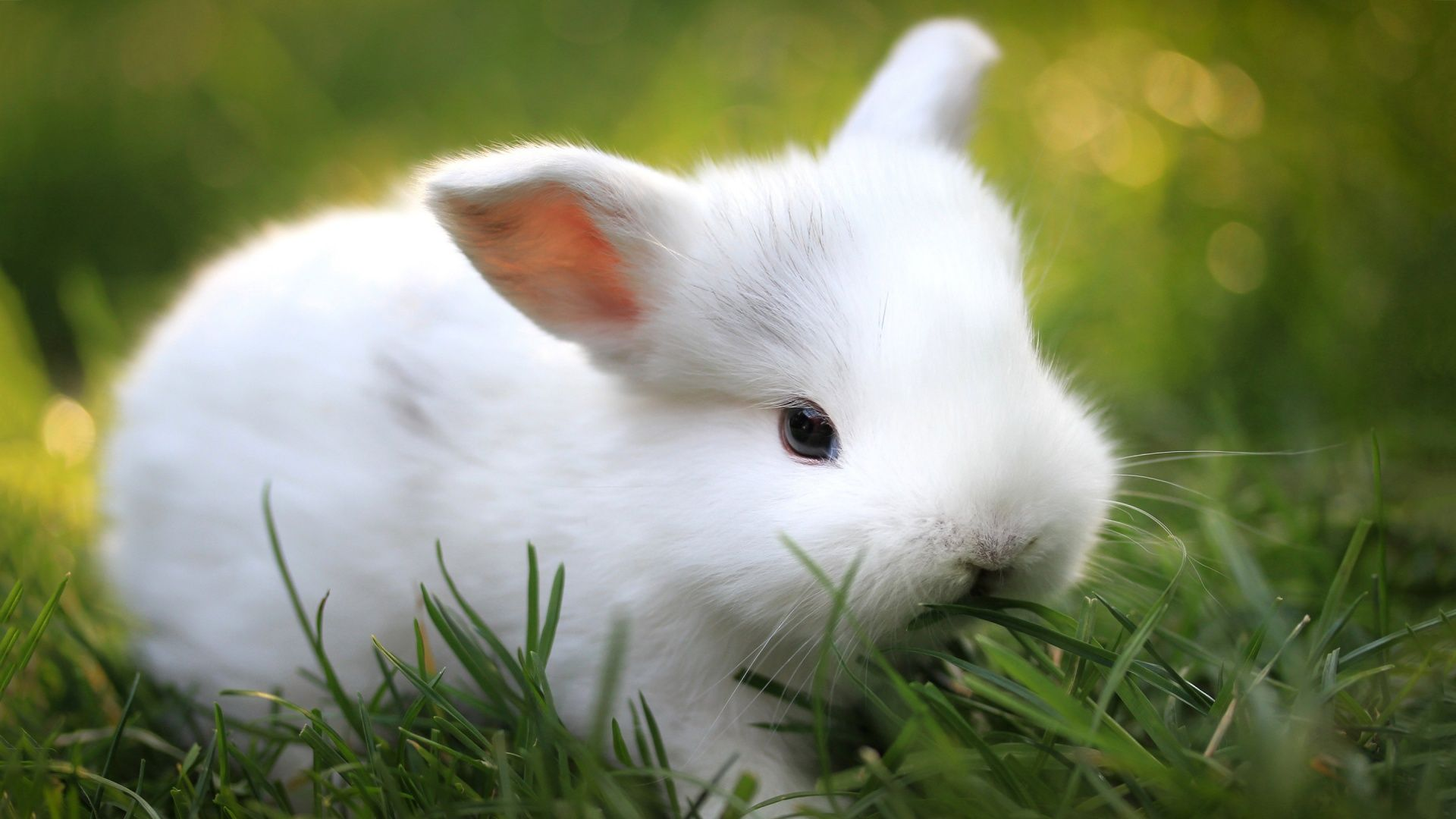 Cute Anime Bunnies Cute White Bunny Full Hd Desktop Wallpapers 1080p I Want One Sssssssooooooossssooooosssoooooooo Cute Baby Bunnies Cute Animals Cool Pets