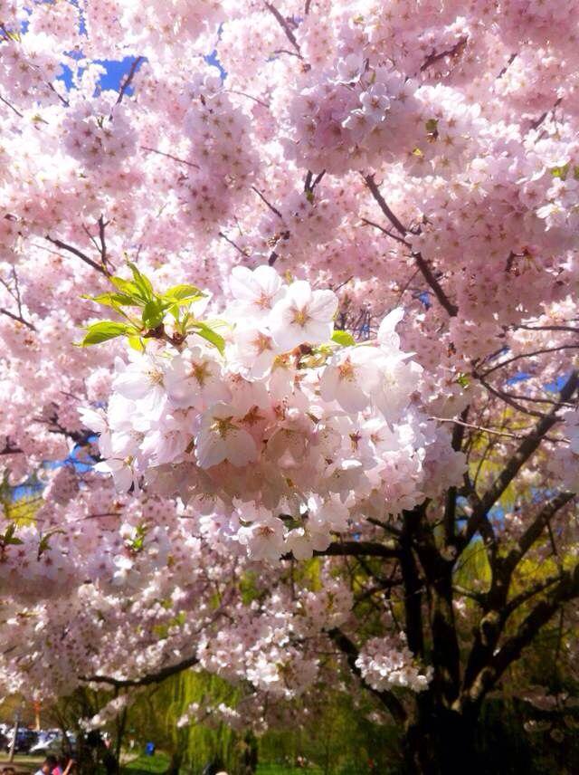 Cherry Blossom High Park Cherry Blossom Blossom Plants