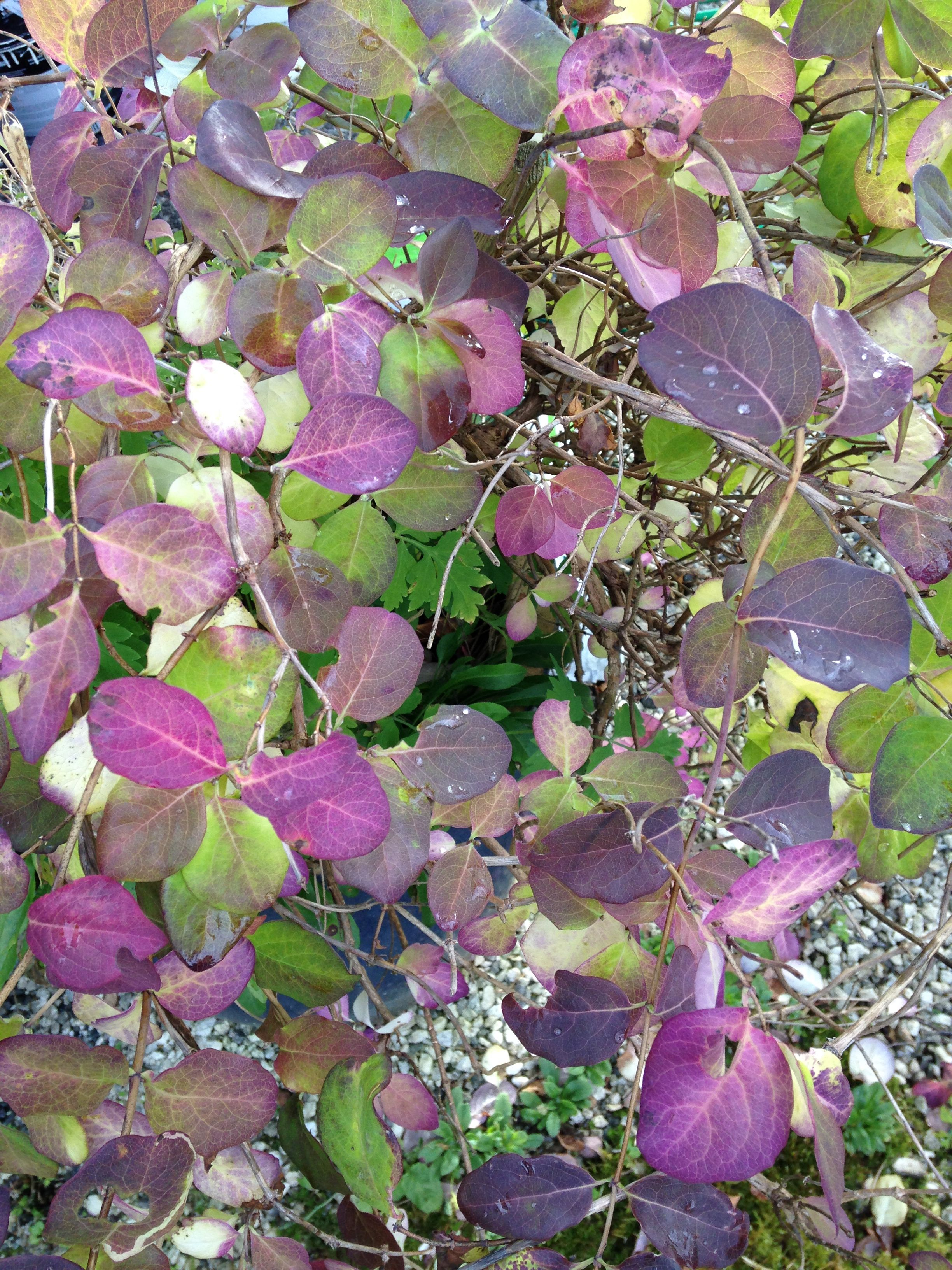 Høstfargede Kaprifolblader