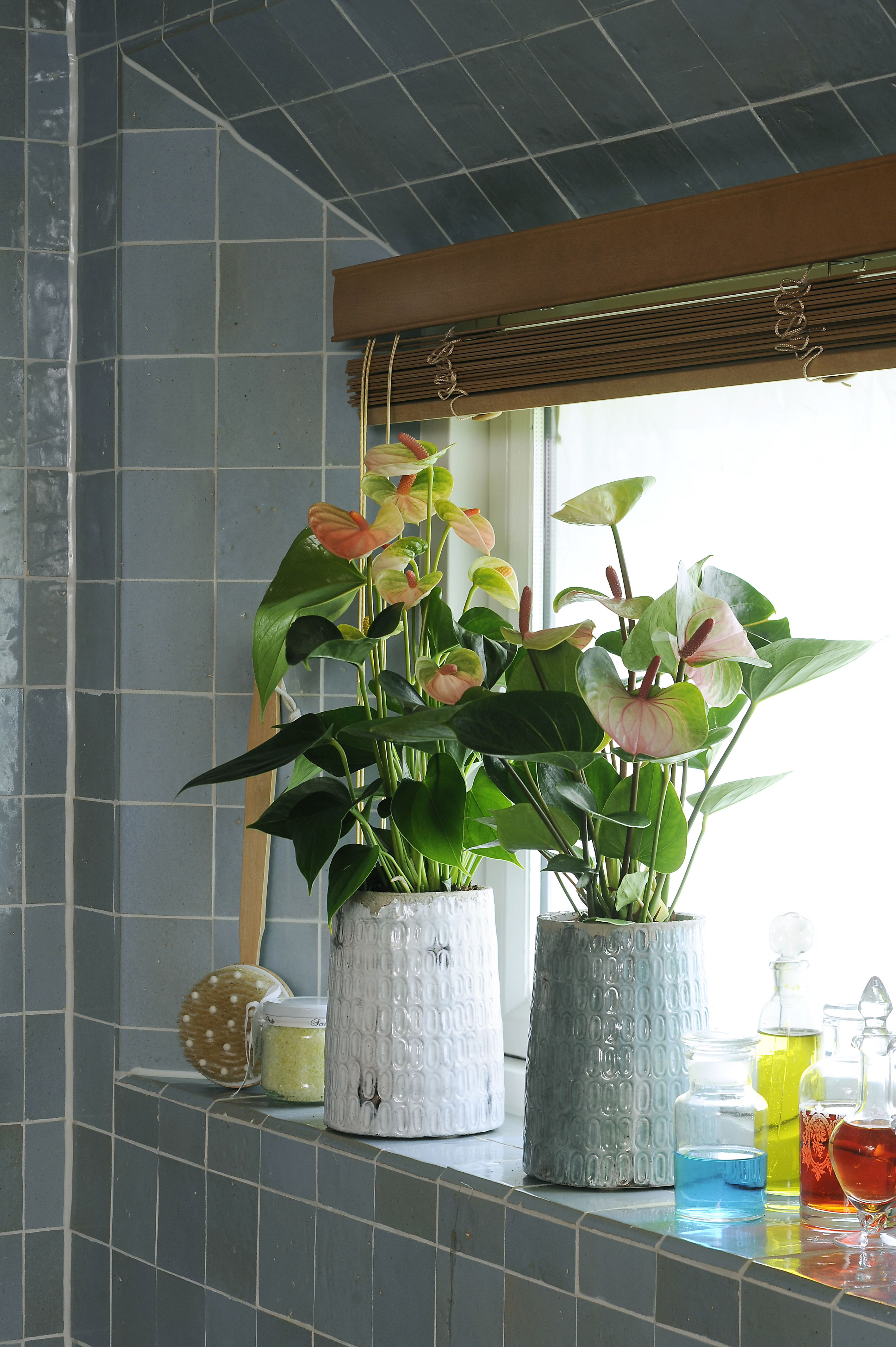 anthurium anthuriuminfo anthurium interieur pinterest gardens. Black Bedroom Furniture Sets. Home Design Ideas