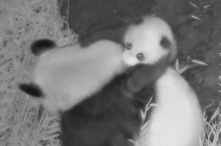 Bébé panda - Pairi Daiza