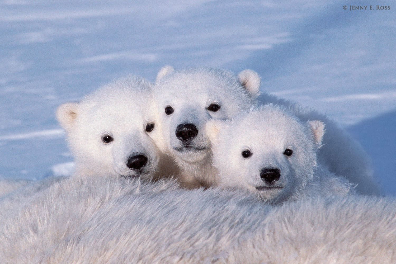polar bears pictures polar bear  ursus maritimus Black Bear Cubs Black Bear Cubs