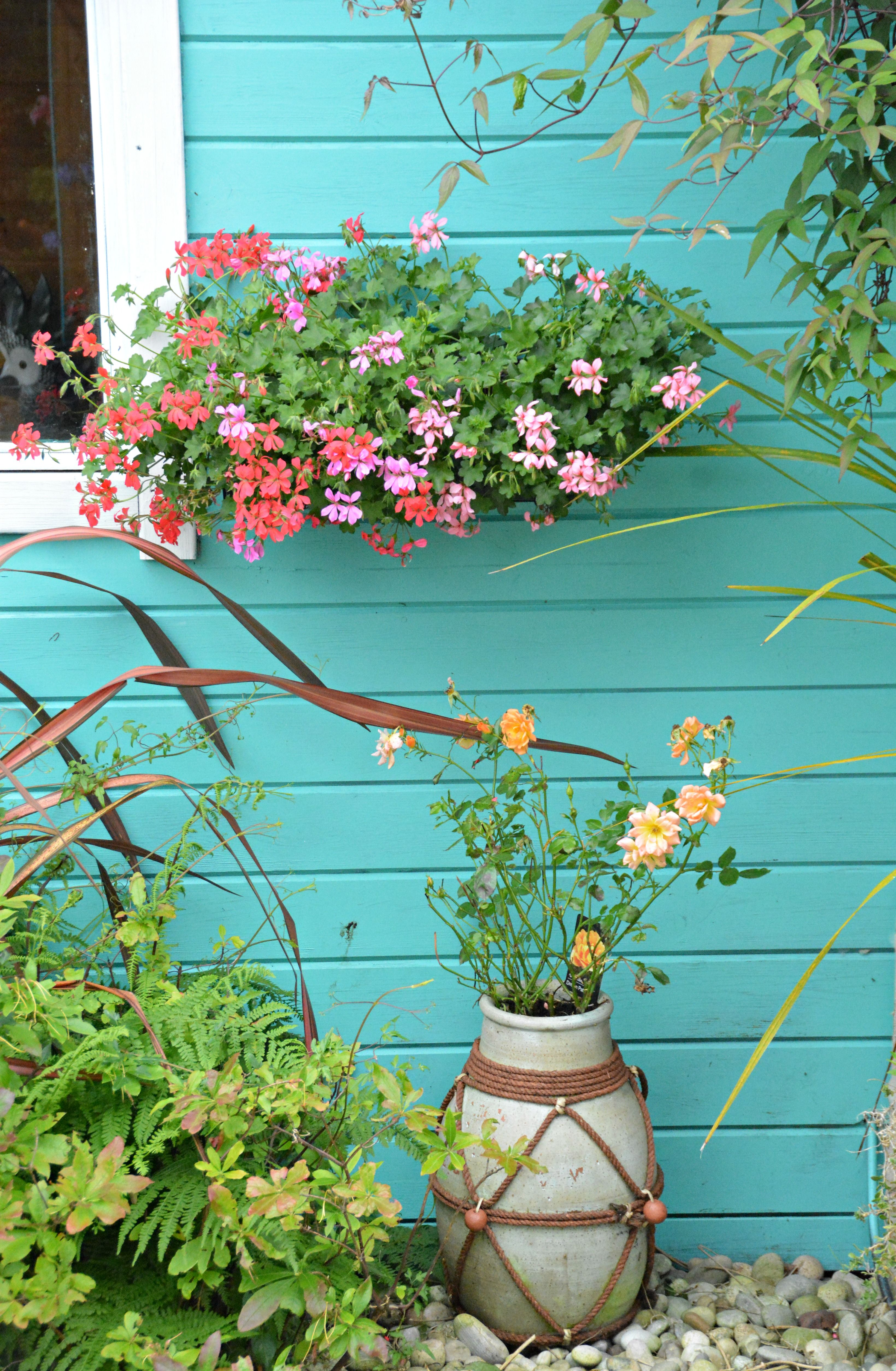 Swiss geranium window box in my garden (Wil 3415) Garden