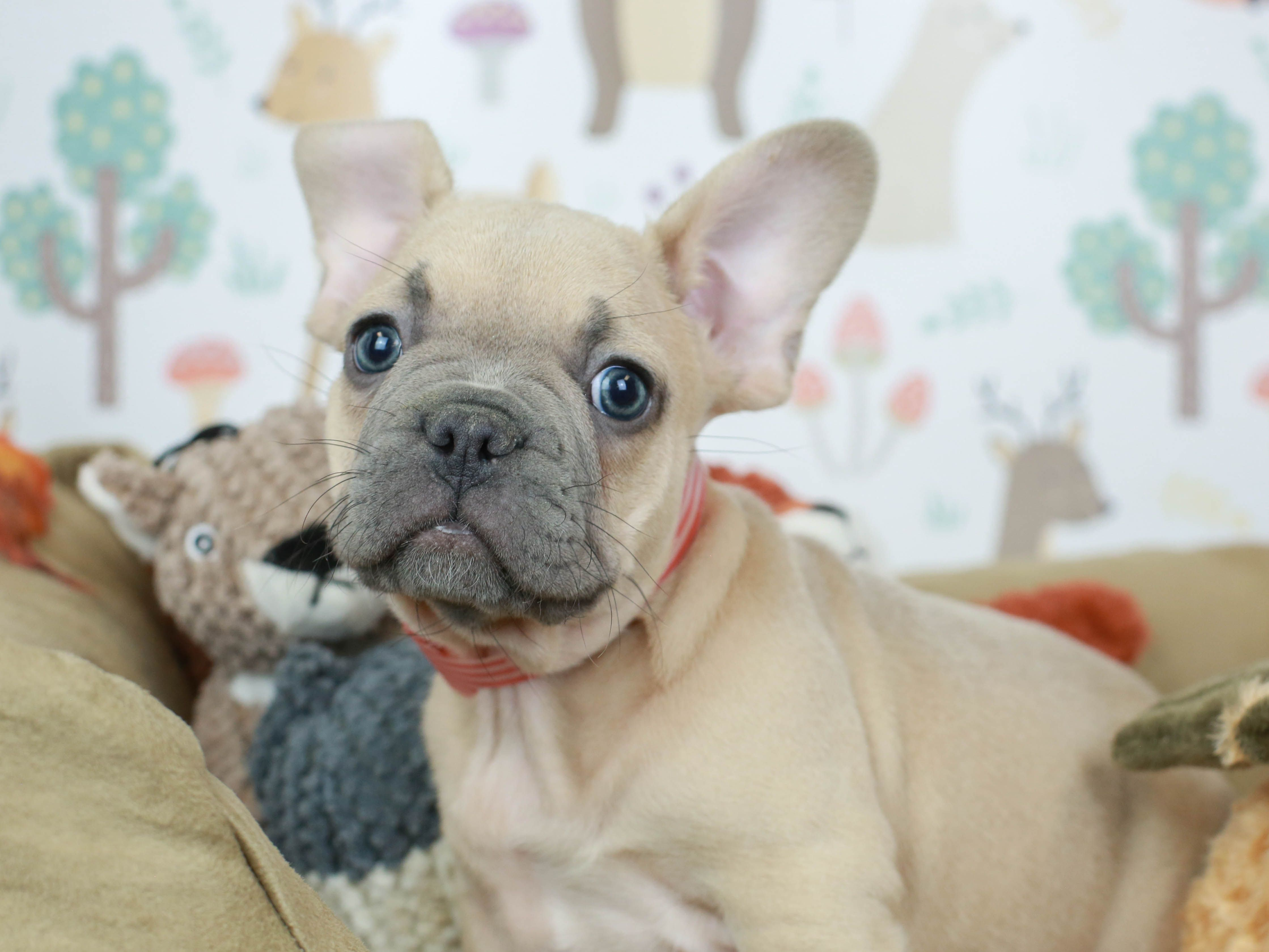 French Bulldogs puppies come in several different colors