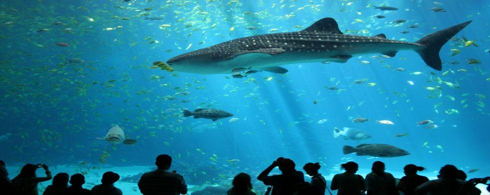 Whale shark in the Georgia Aquarium. | Georgia aquarium ...