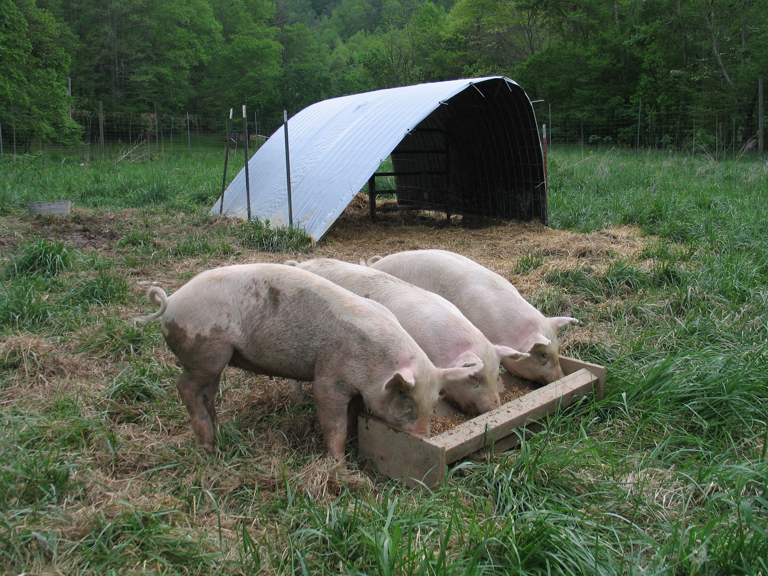 Pigs Are Omnivorous And Their Diet Largely Comprises Of Plants And Animals Pig Animal Facts For Kids Pigs Eating