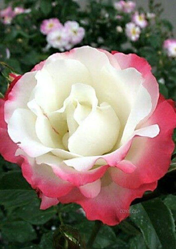Rare White Pink Tips Rose Seeds Flower Bush Perennial Shrub Garden