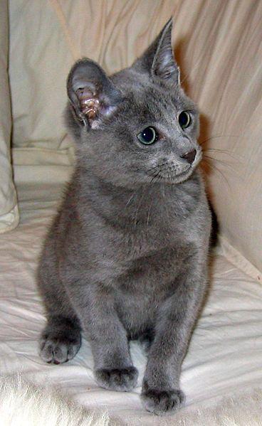 Ashley Russian Blue Kitten Cute Cats Cute Cats And Kittens