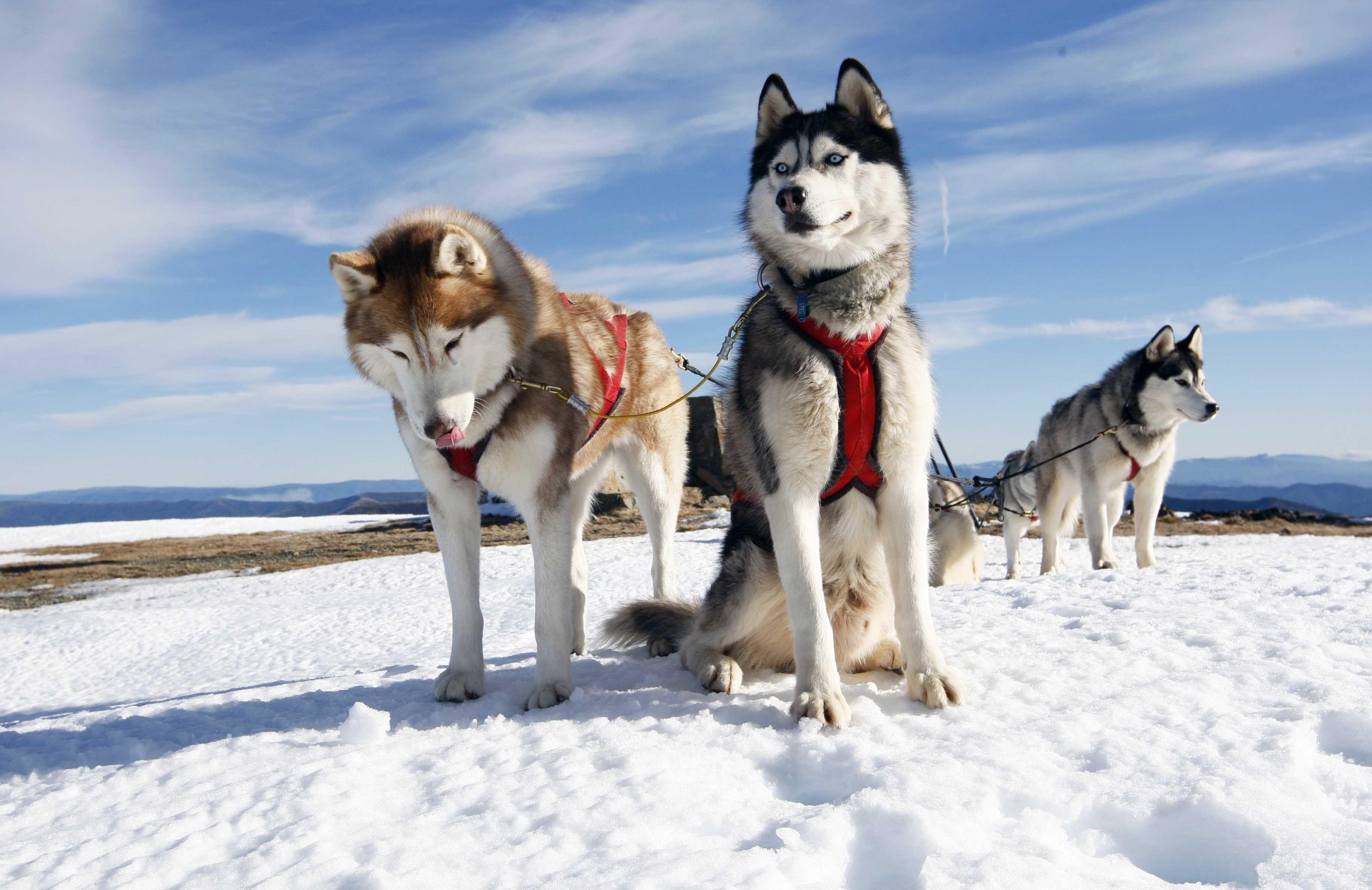 Snowmobile Safari To A Husky Farm Smartest Dog Breeds Dog