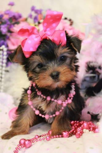 She Looks Like A Diva You Go Girl Lol So Cute So Cute Tap The Pin For The Most Adorable Pawtastic Fur Baby Apparel You Ll Lo In 2020 Yorkie Dogs