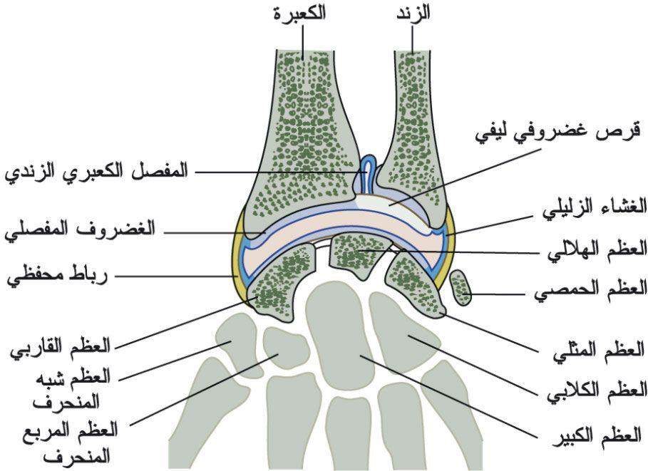 بالصور و الشرح علم وظائف أعضاء جسم الإنسان مع تشريح جسم الانسان Body Anatomy